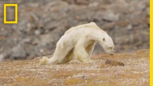 """National Geographic puts out Super Viral Video of Polar Bear """"Starving from Climate Change"""" which was Later Exposed as Fake News"""